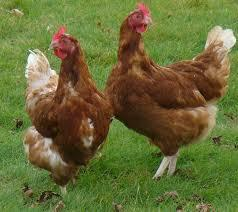 poulets  Elevage Mme et Mr ROMPILLON